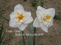 Narcissus  'Dolly Mollinger' - narcis