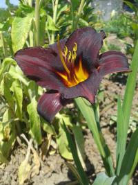 Denivka Sweet Hot Chocolate (Hemerocallis)