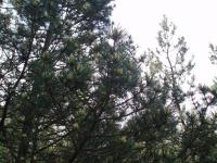 Borovice blatka (Pinus mugo nothosubsp rotundata)